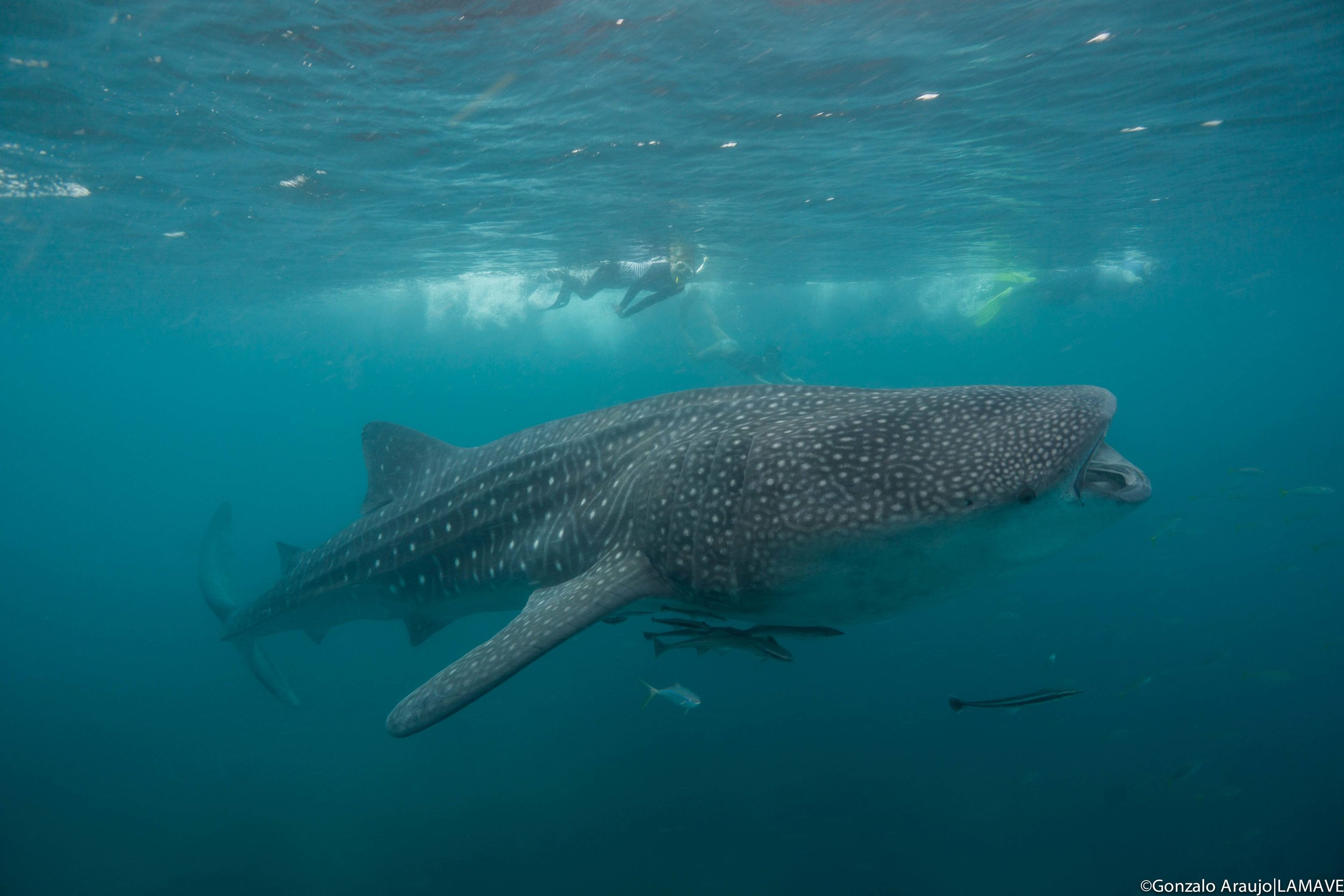 Guests from the Sirens swim alongside a feeding whale shark.