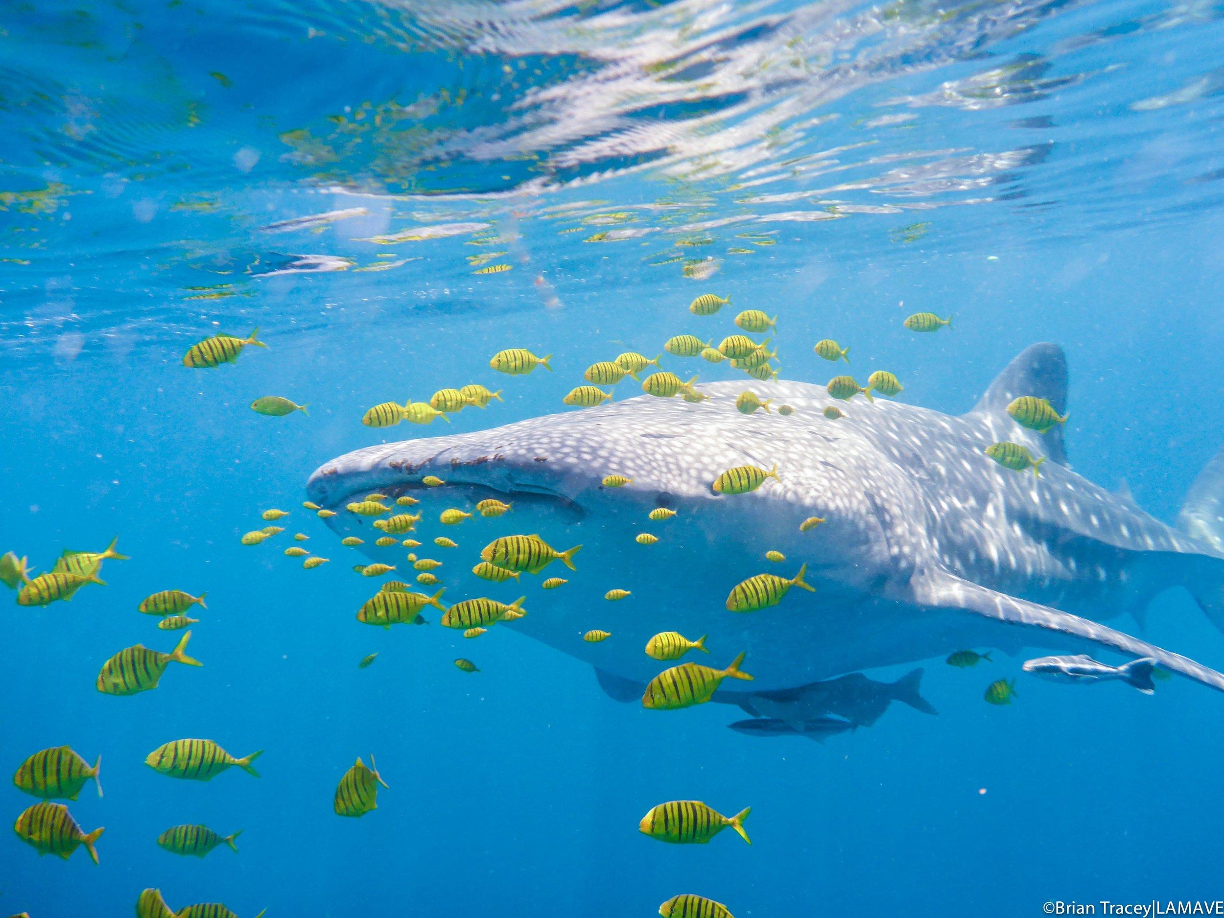 PALAWAN WHALE SHARK PROJECT -