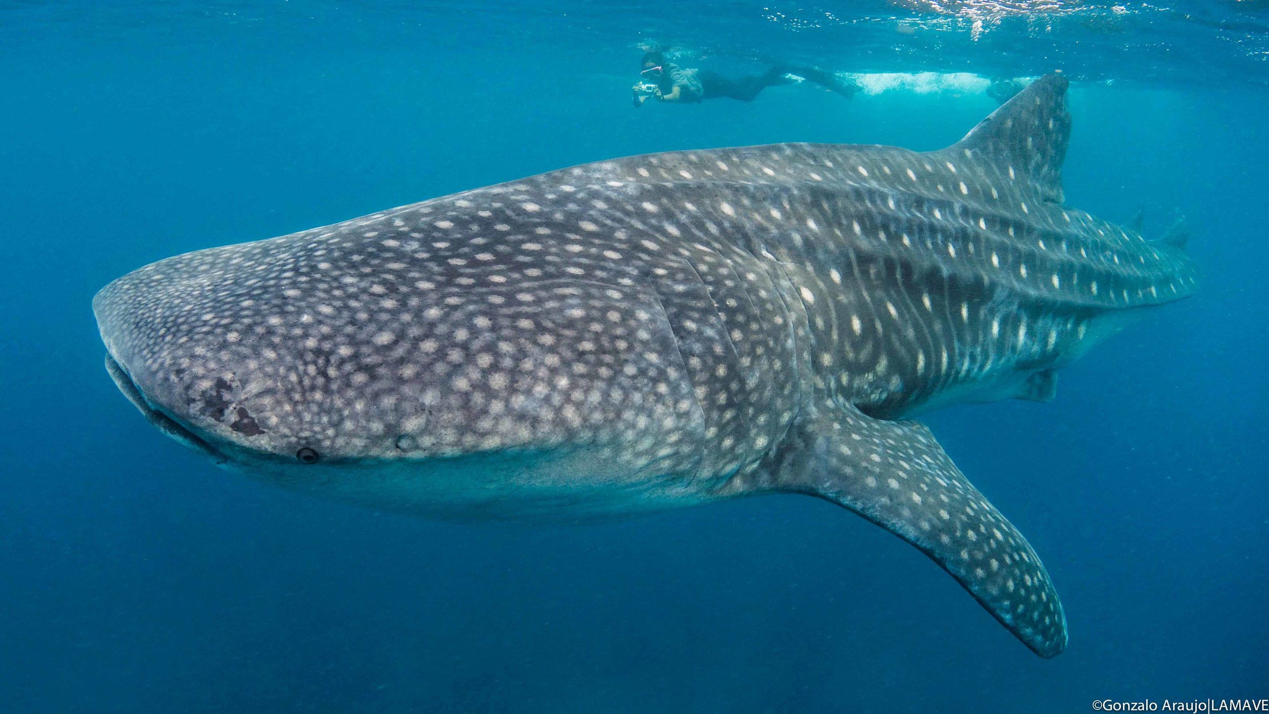 A researcher from LAMAVE photographs a whale shark in Southern Leyte