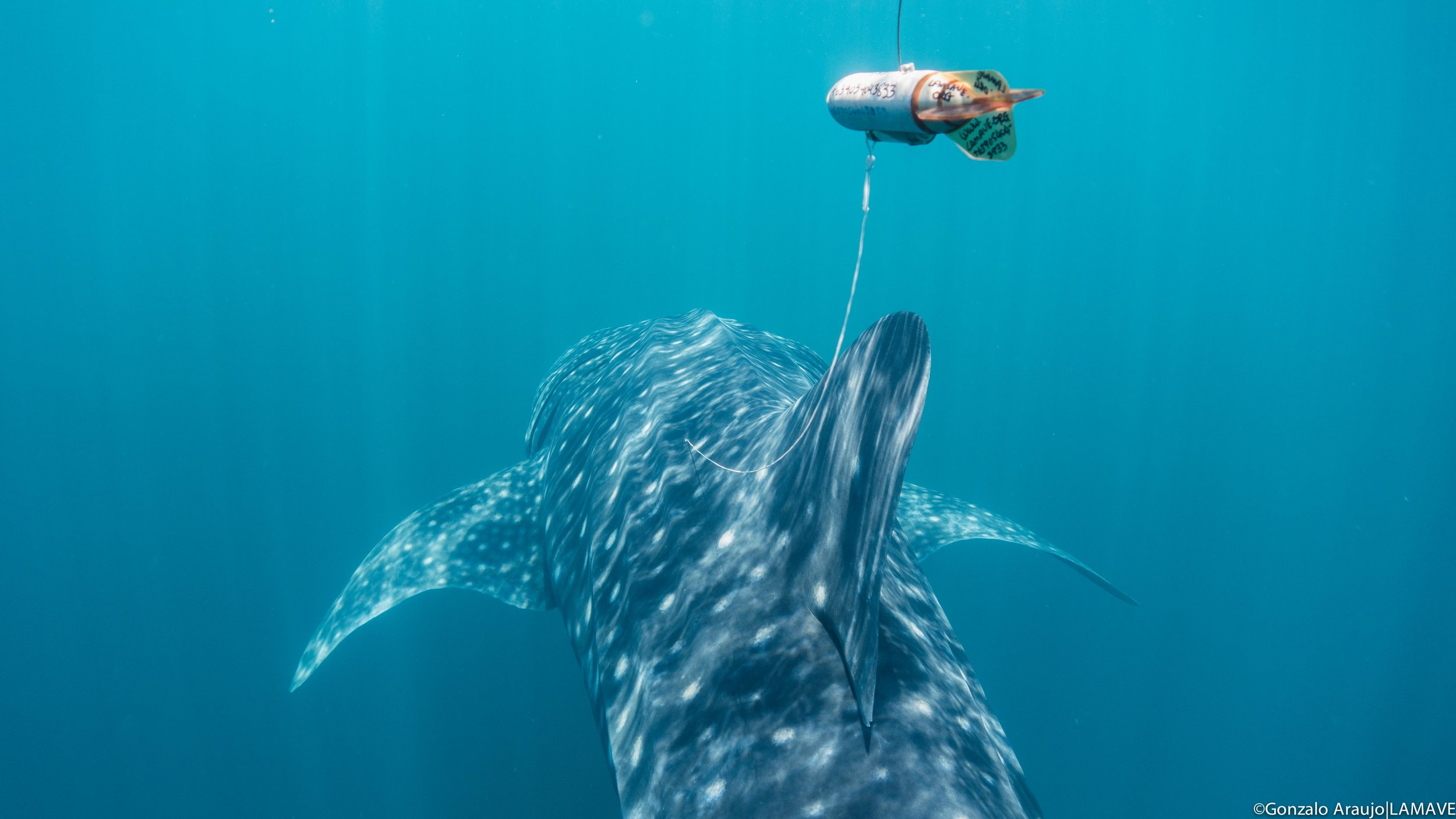 A whale shark fitted with a satellite tag by LAMAVE and MMF.