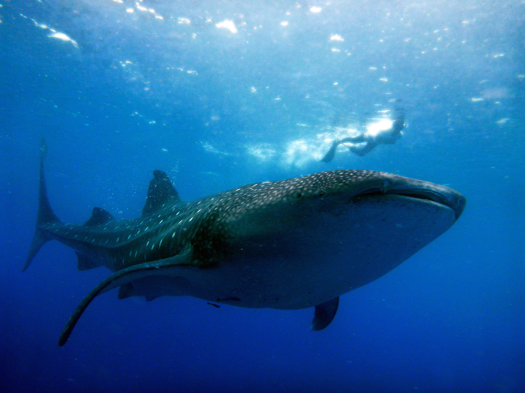A volunteer swimming with a whale shark during a shark behavior study.