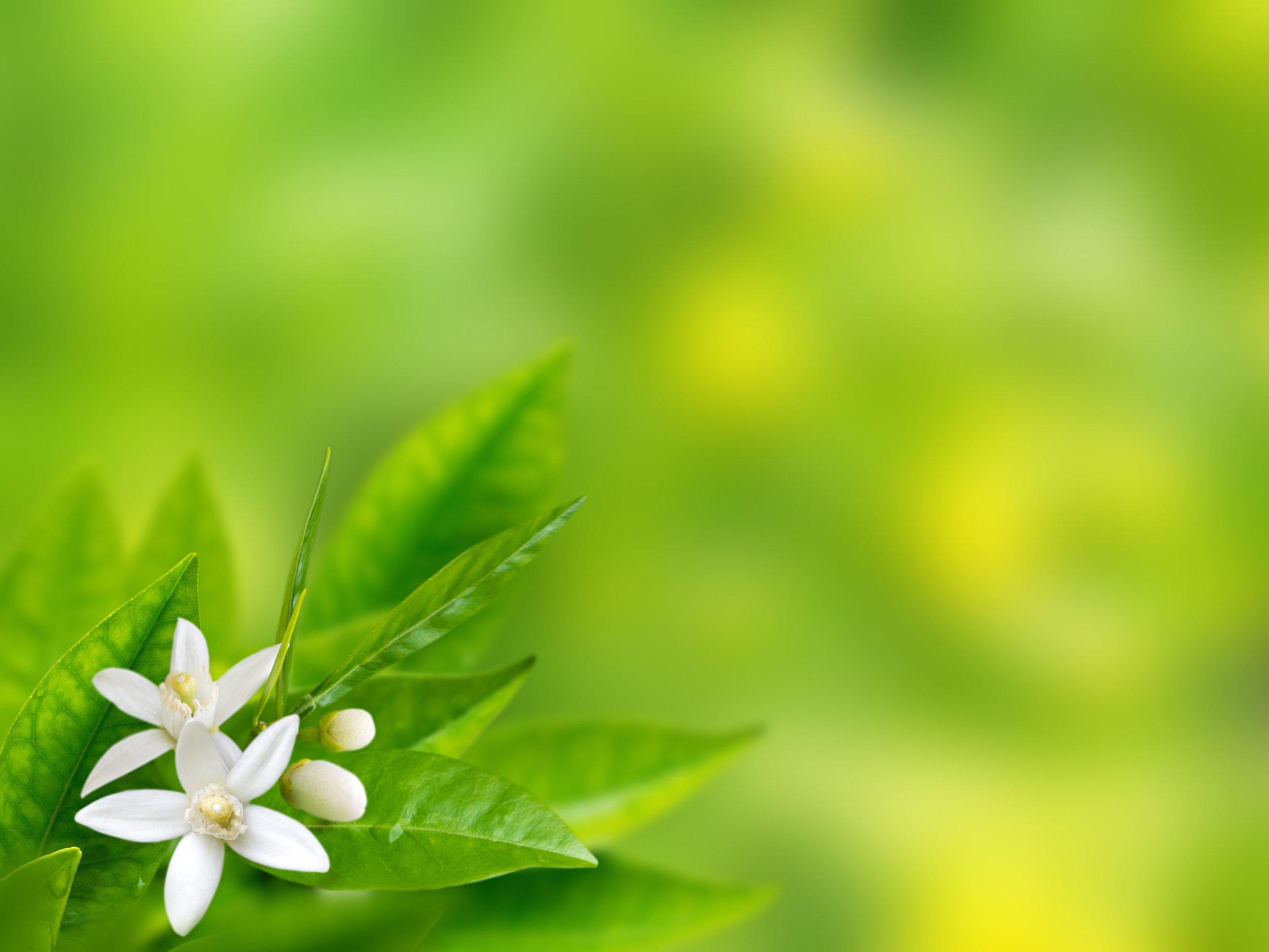 Neroli flower