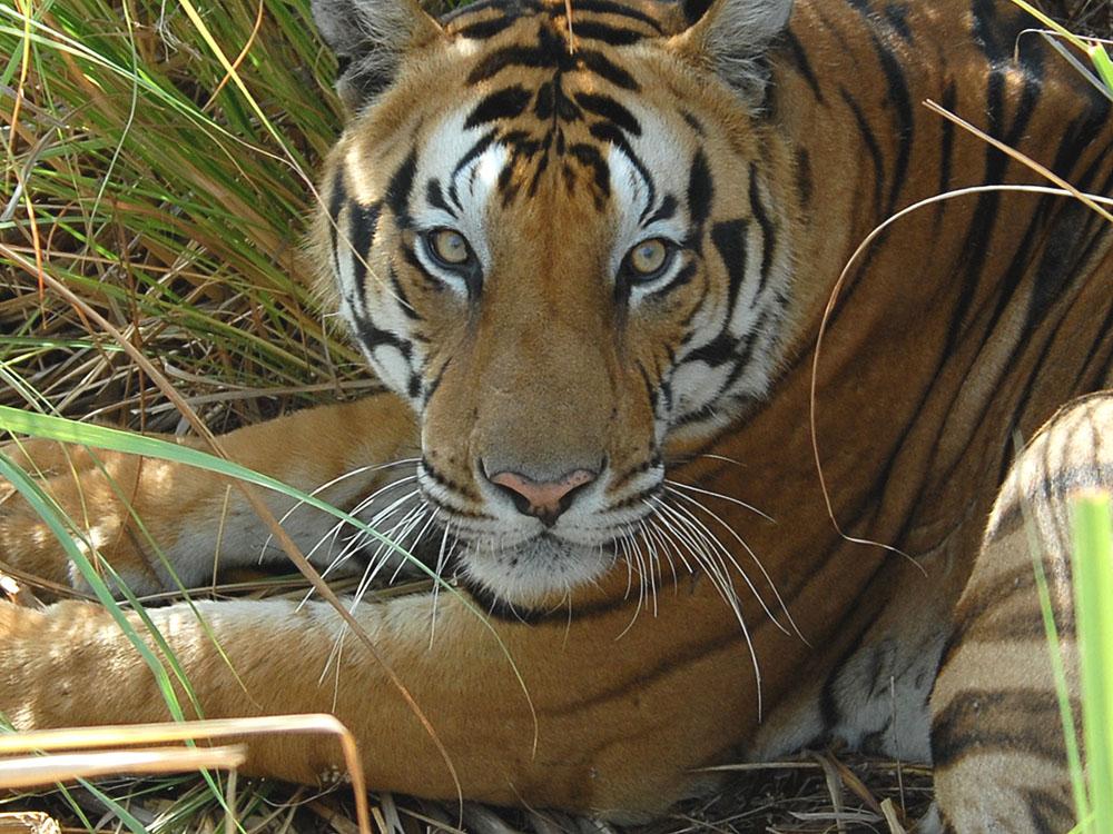 002 tiger.jpg