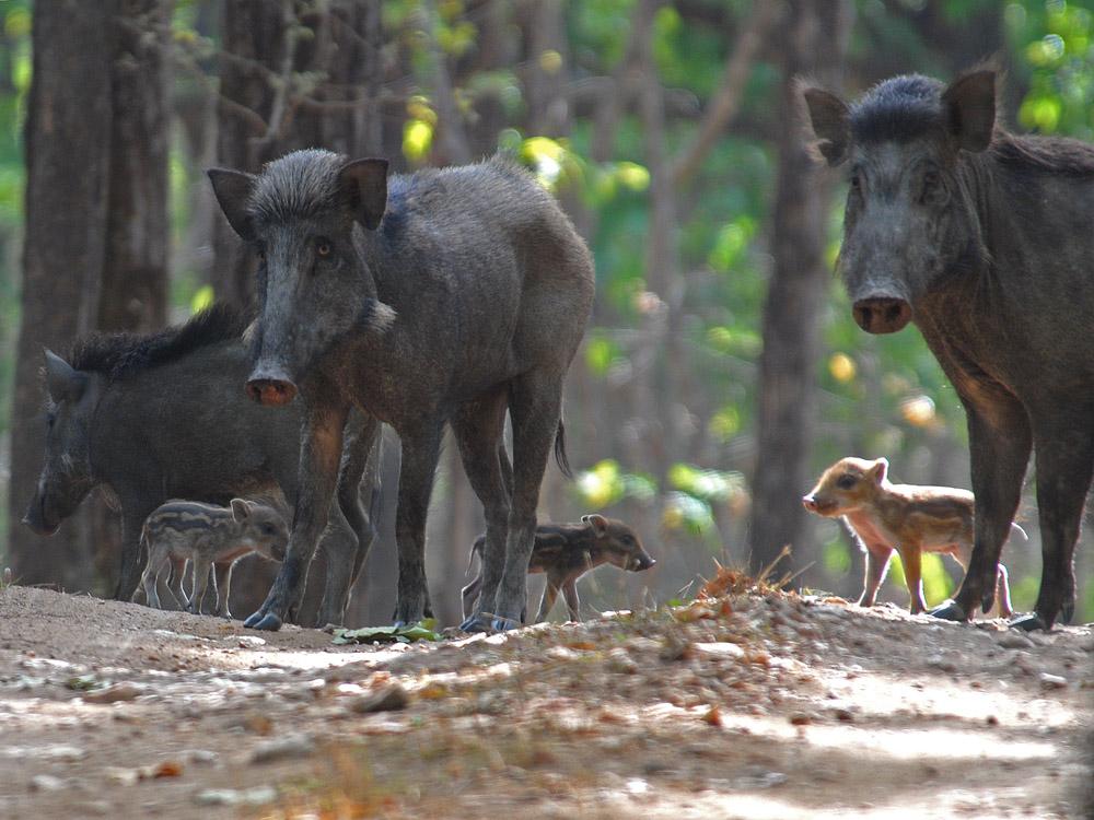 012 wild boar.jpg