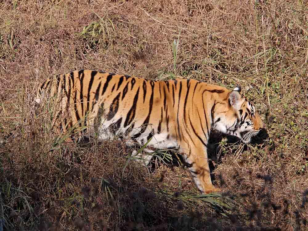016 tiger.jpg