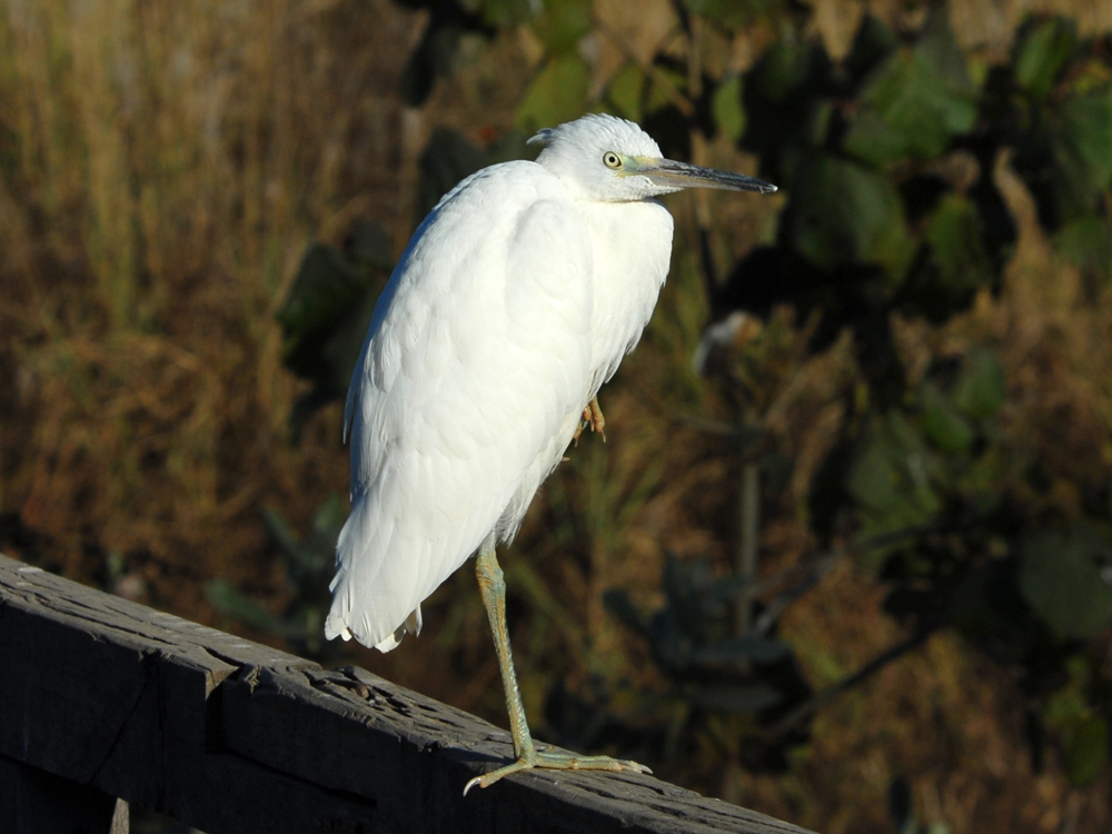 041 little egret.jpg