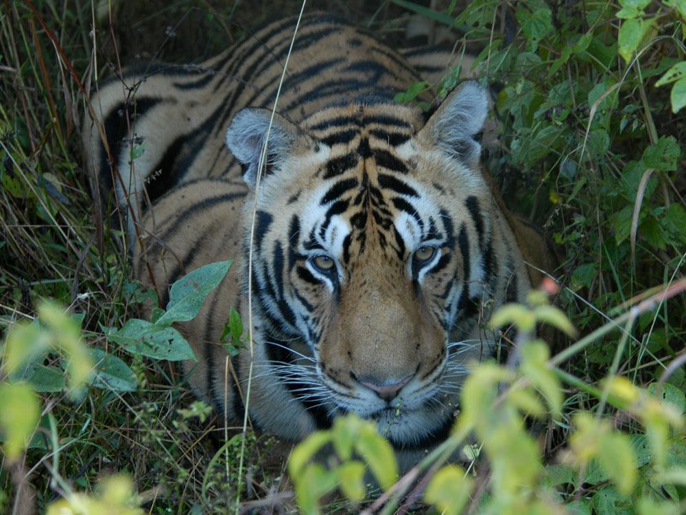044 tiger.jpg