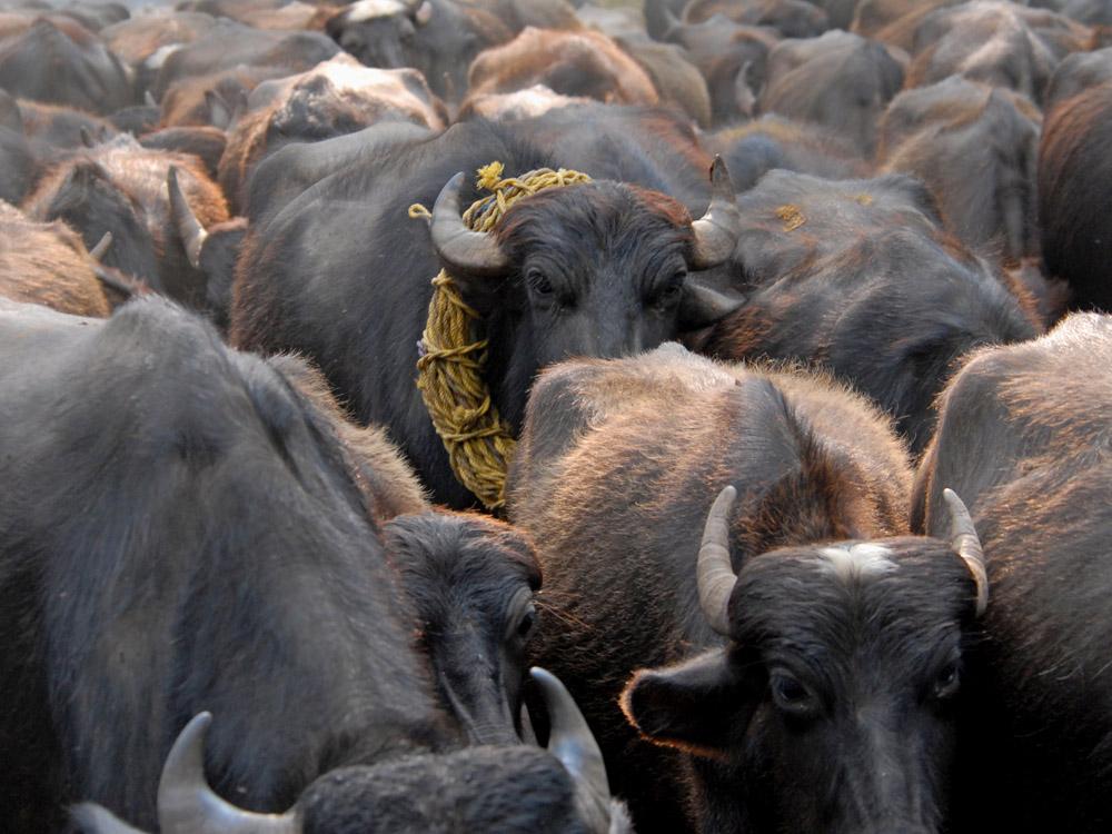 049 buffalo.jpg