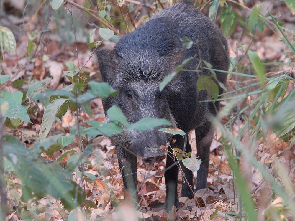 067 wild boar.jpg