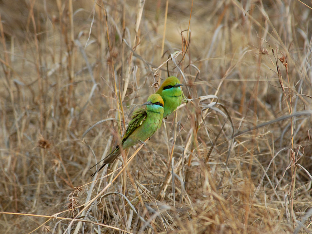 068 green bee eaters.jpg