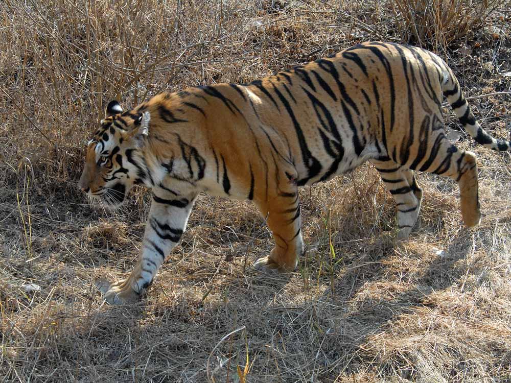 070 tiger.jpg