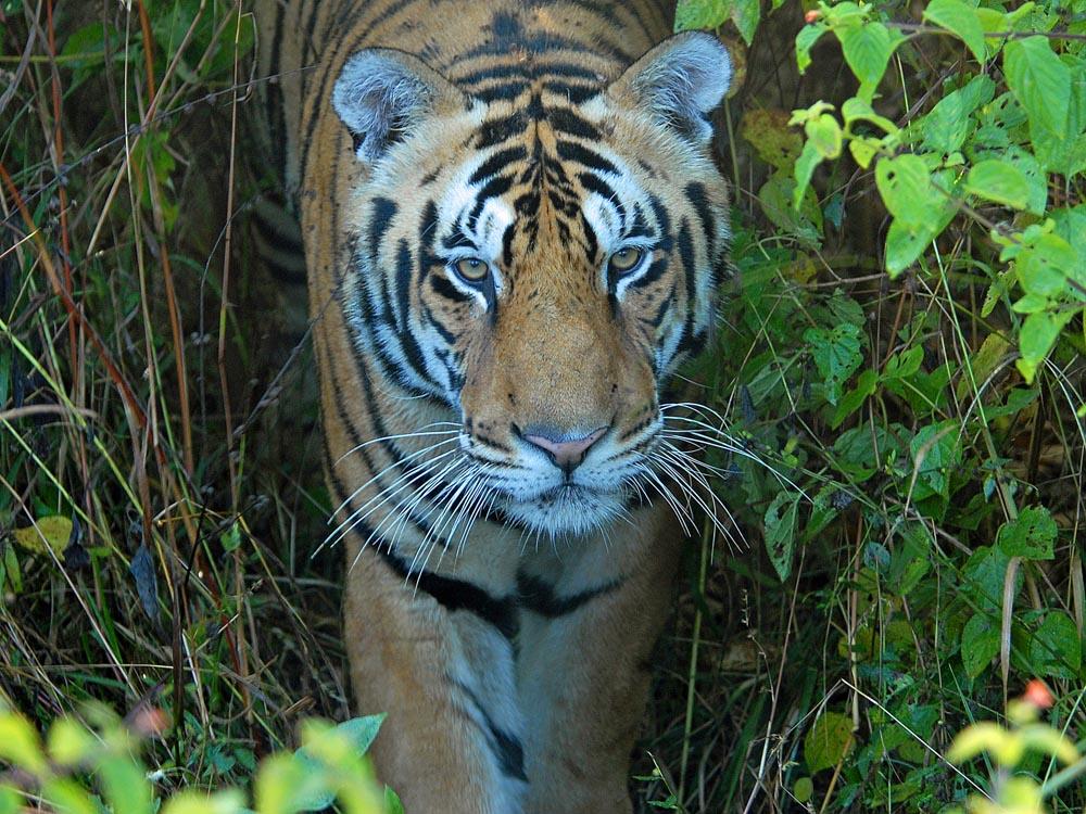 071 tiger.jpg
