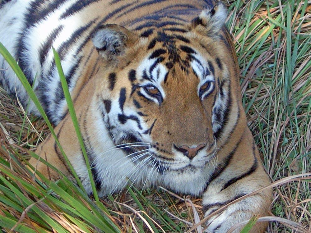 073 tiger.jpg