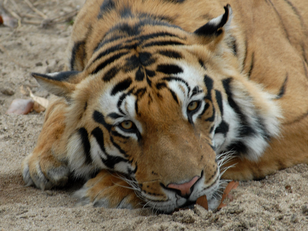 082 tiger.jpg