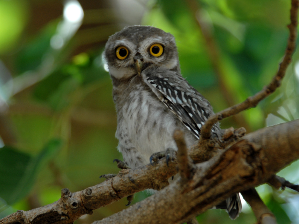 083 spotted owlet.jpg