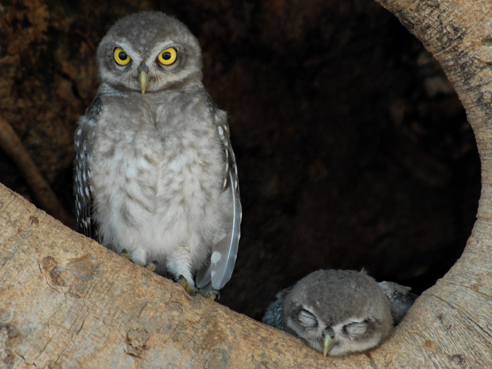 084 spotted owlets.jpg