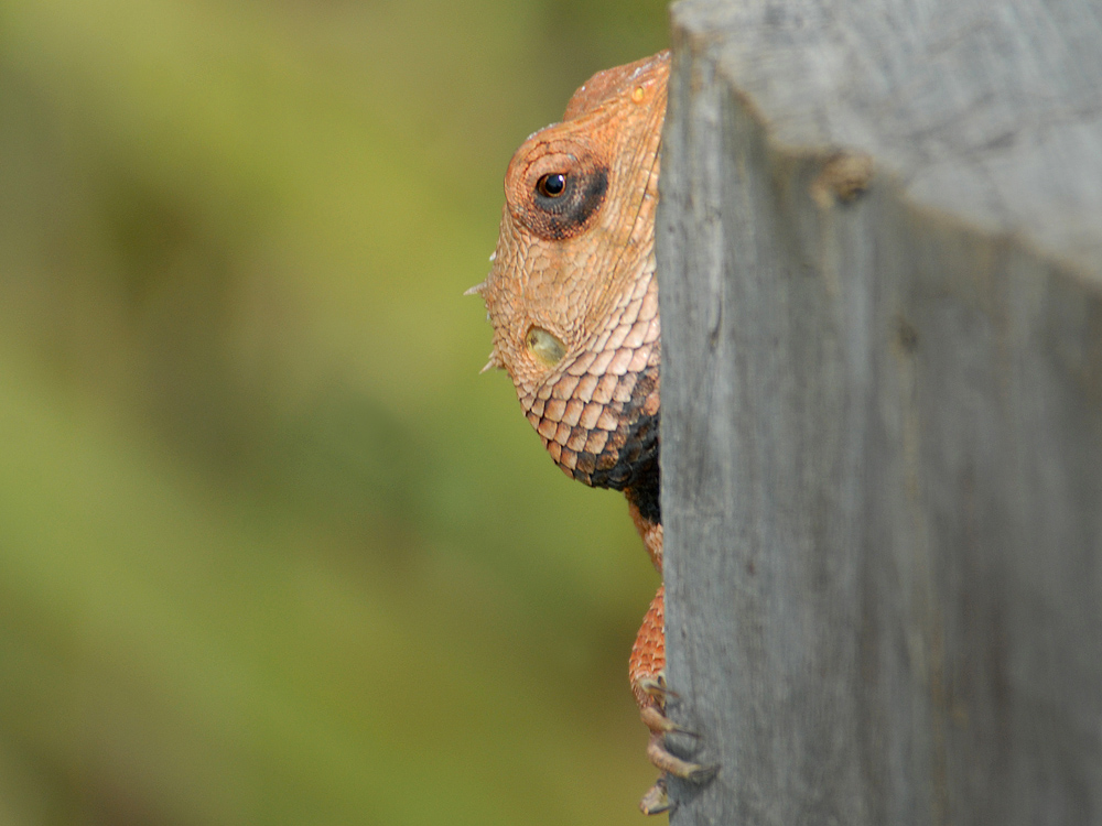 086 lizard.jpg
