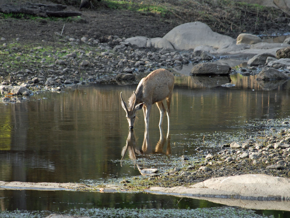 091 stag drinking water.jpg