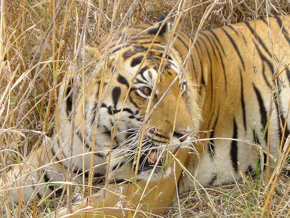 098 tiger.jpg