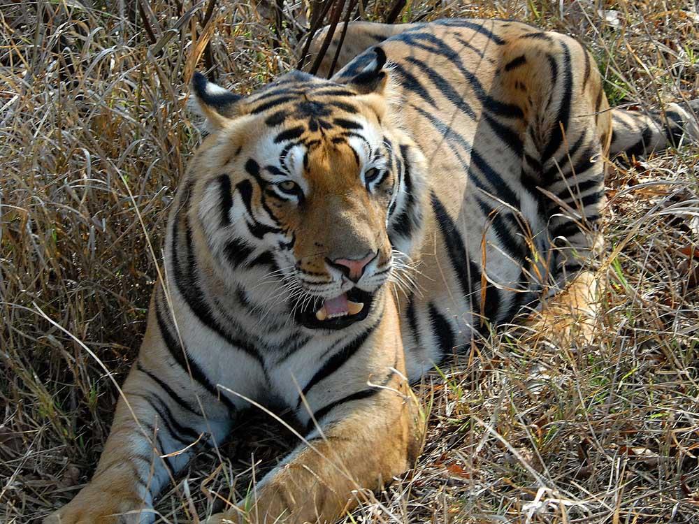 019 tiger.jpg