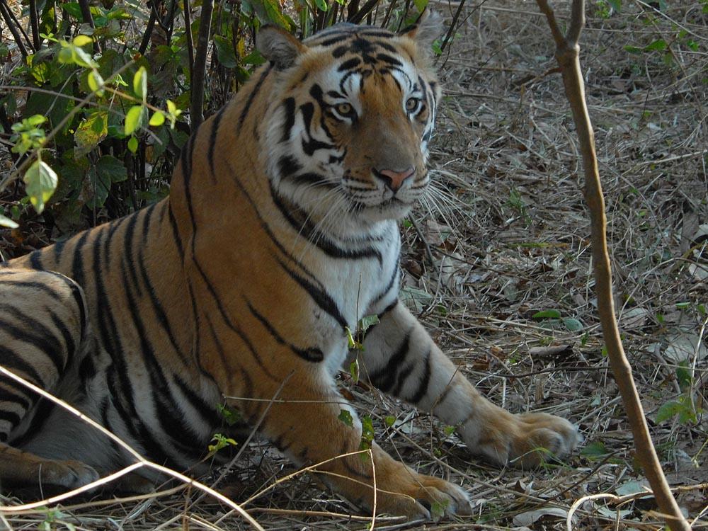 023 tiger.jpg