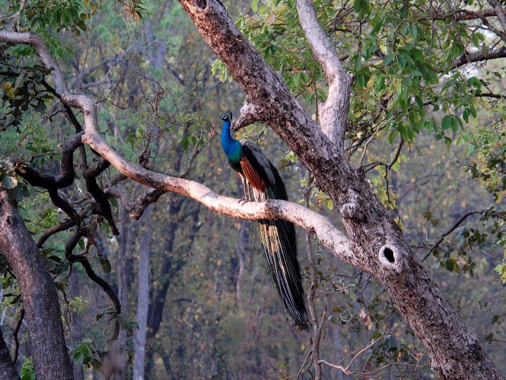 028 peacock.jpg