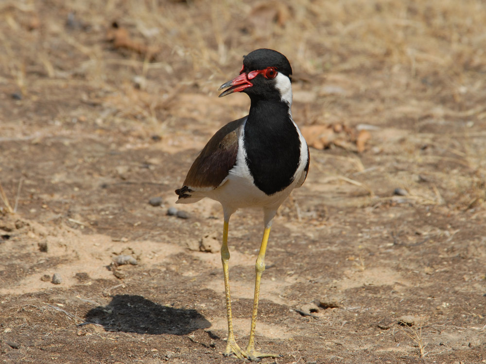 038 red wattled lapwing.jpg