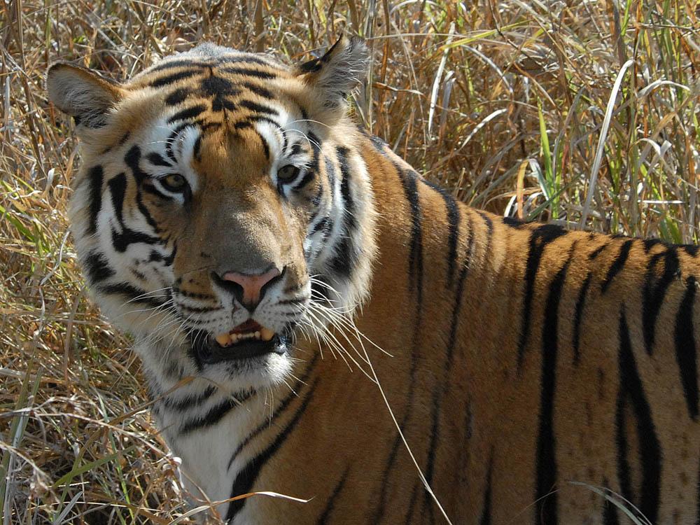 039 tiger.jpg