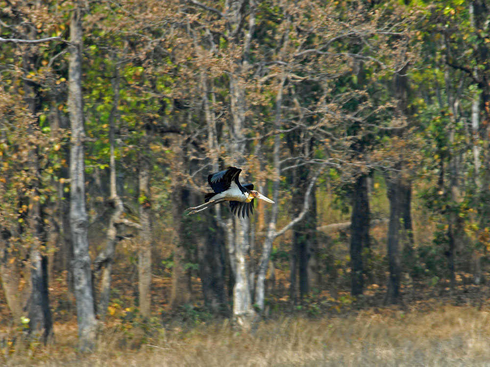 051 lesser adjutant stork.jpg