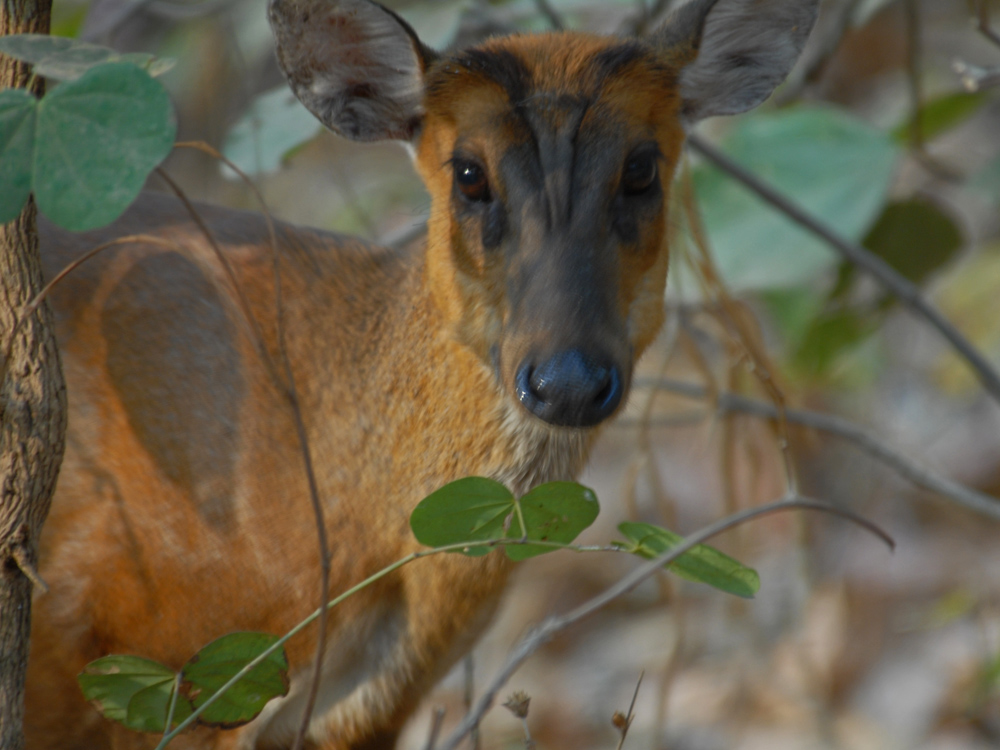 053 barking deer.jpg