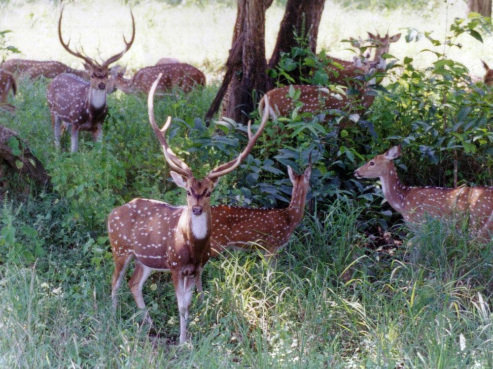 006 deer.jpg