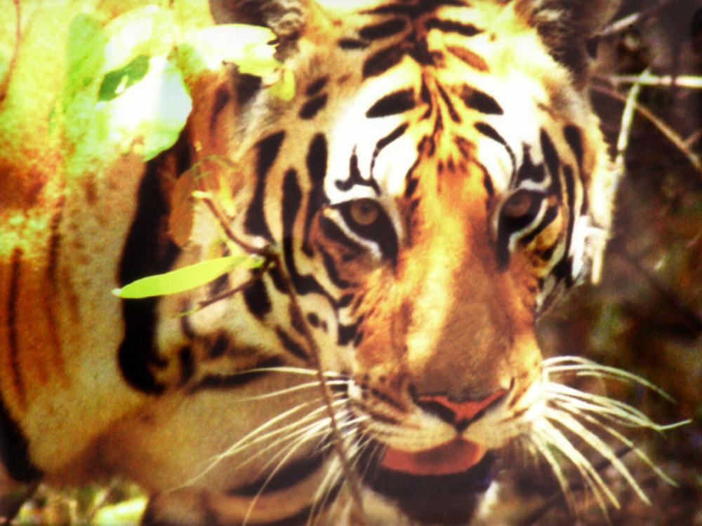 007 tiger face.jpg
