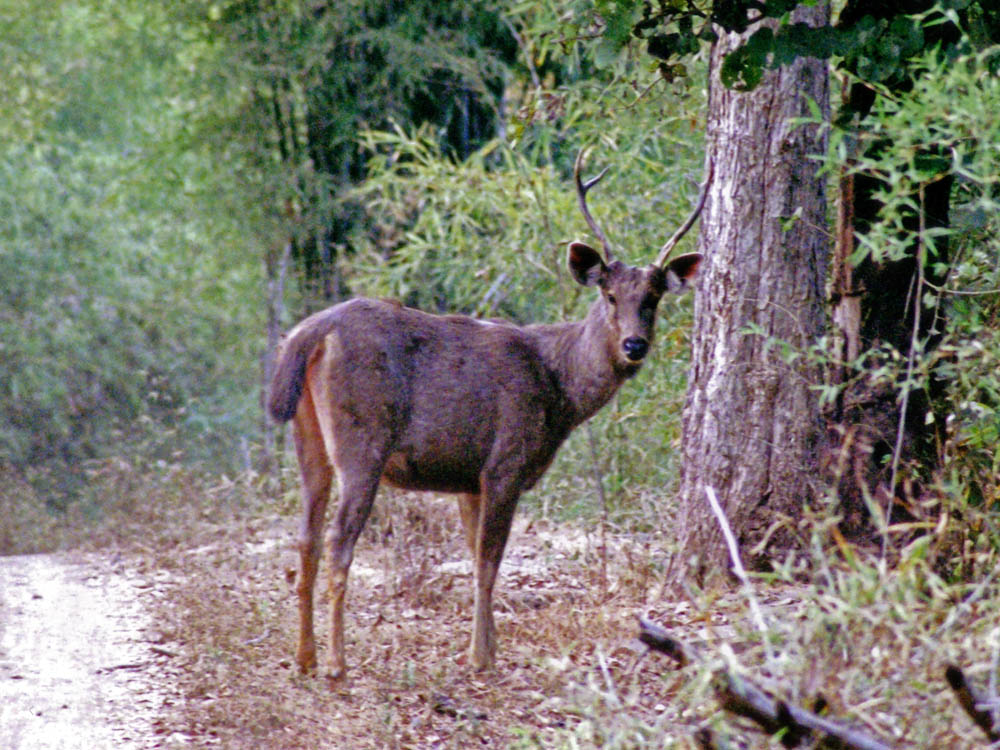 011 sambar stag.jpg