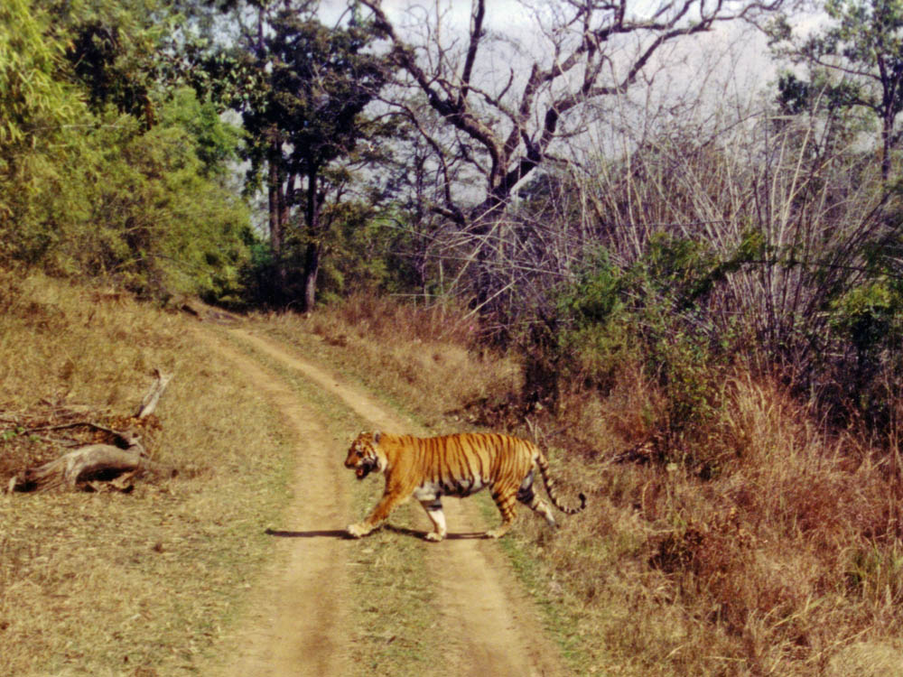 016 tiger crossing road.jpg