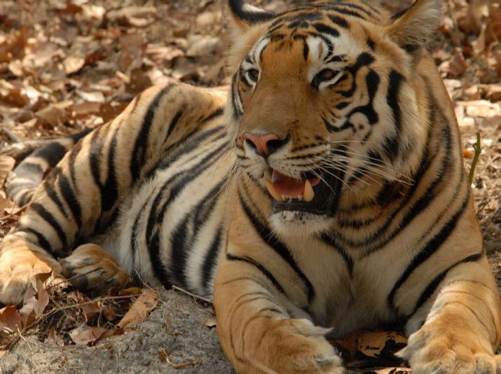 018 tiger.jpg