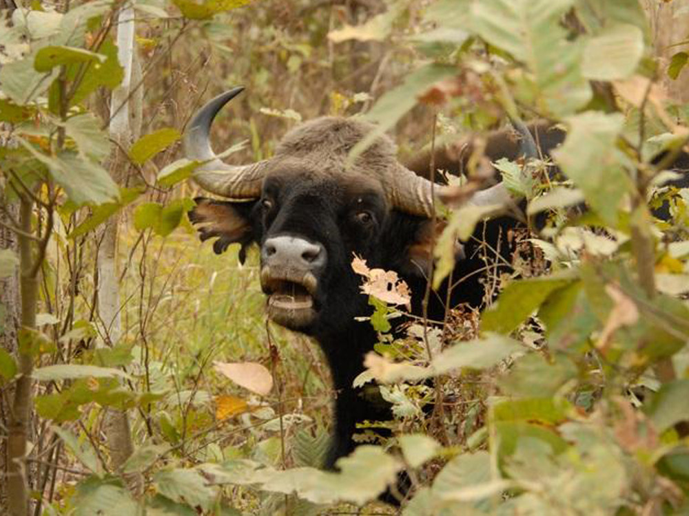 020 Indian bison.jpg