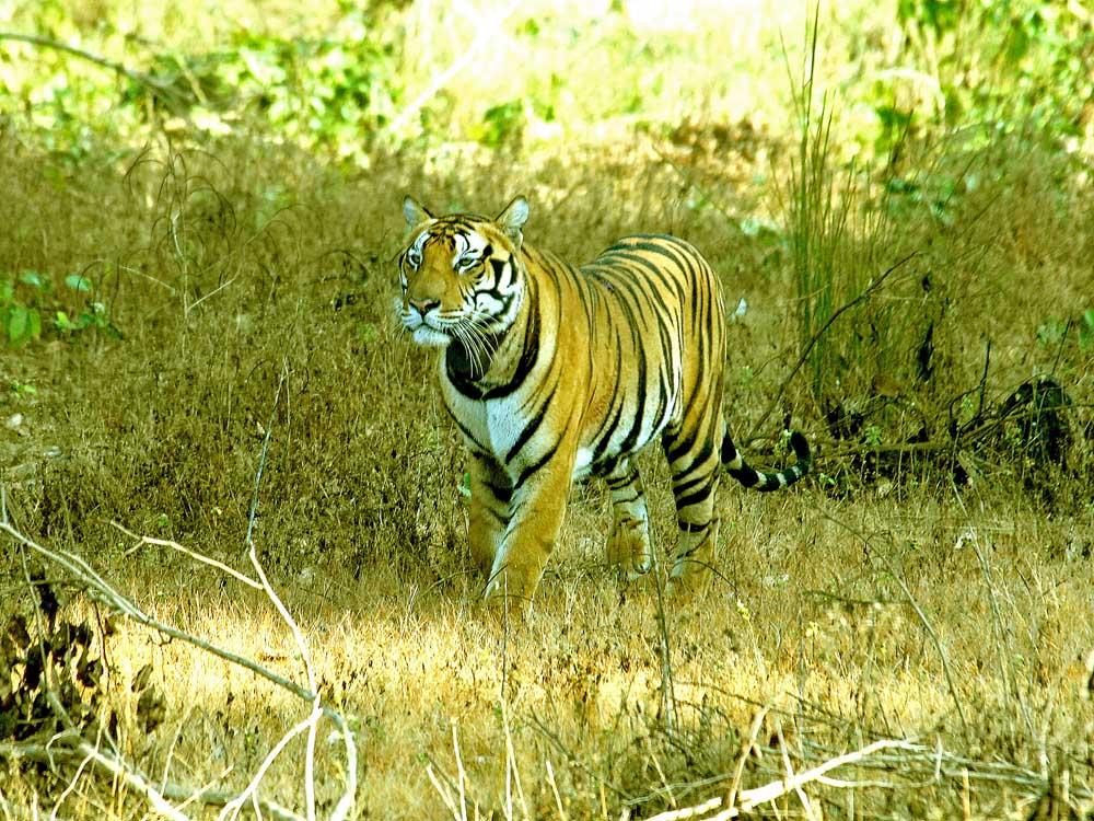 030 tiger.jpg