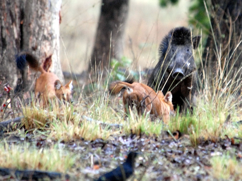 038 boar attacked by dholes.jpg