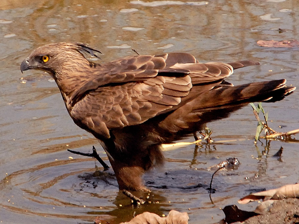 039 changeable hawk eagle.jpg