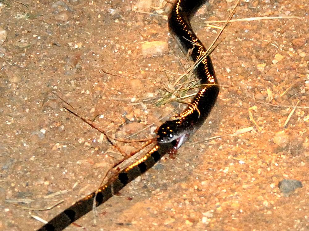 040 king snake devouring green keelback.jpg