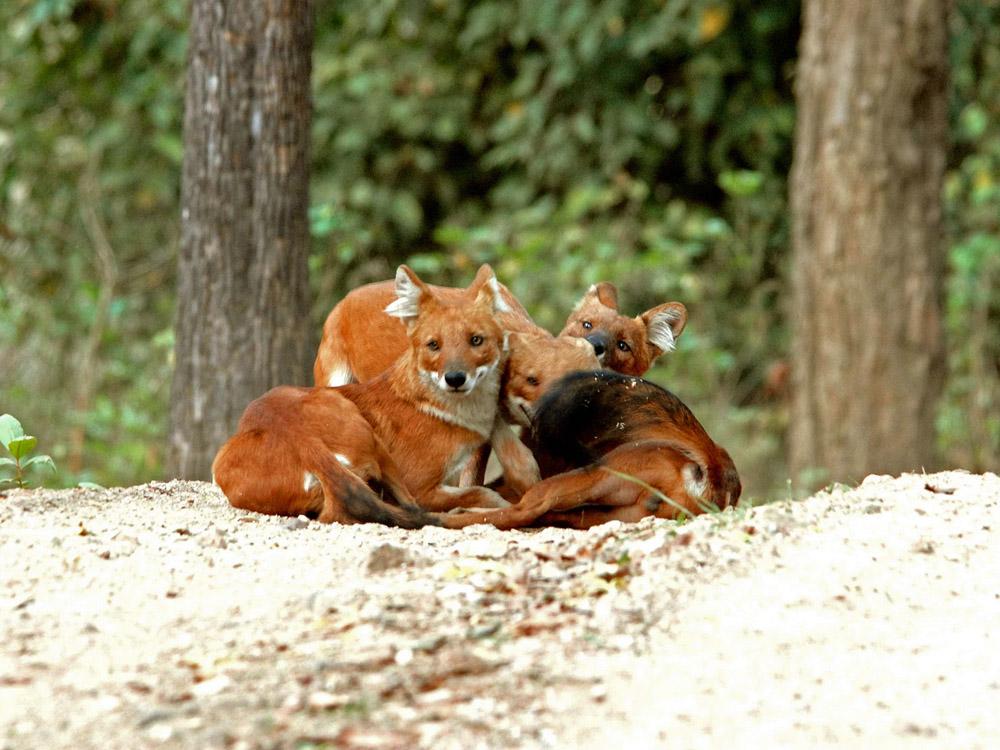 047 wild dogs socializing.jpg