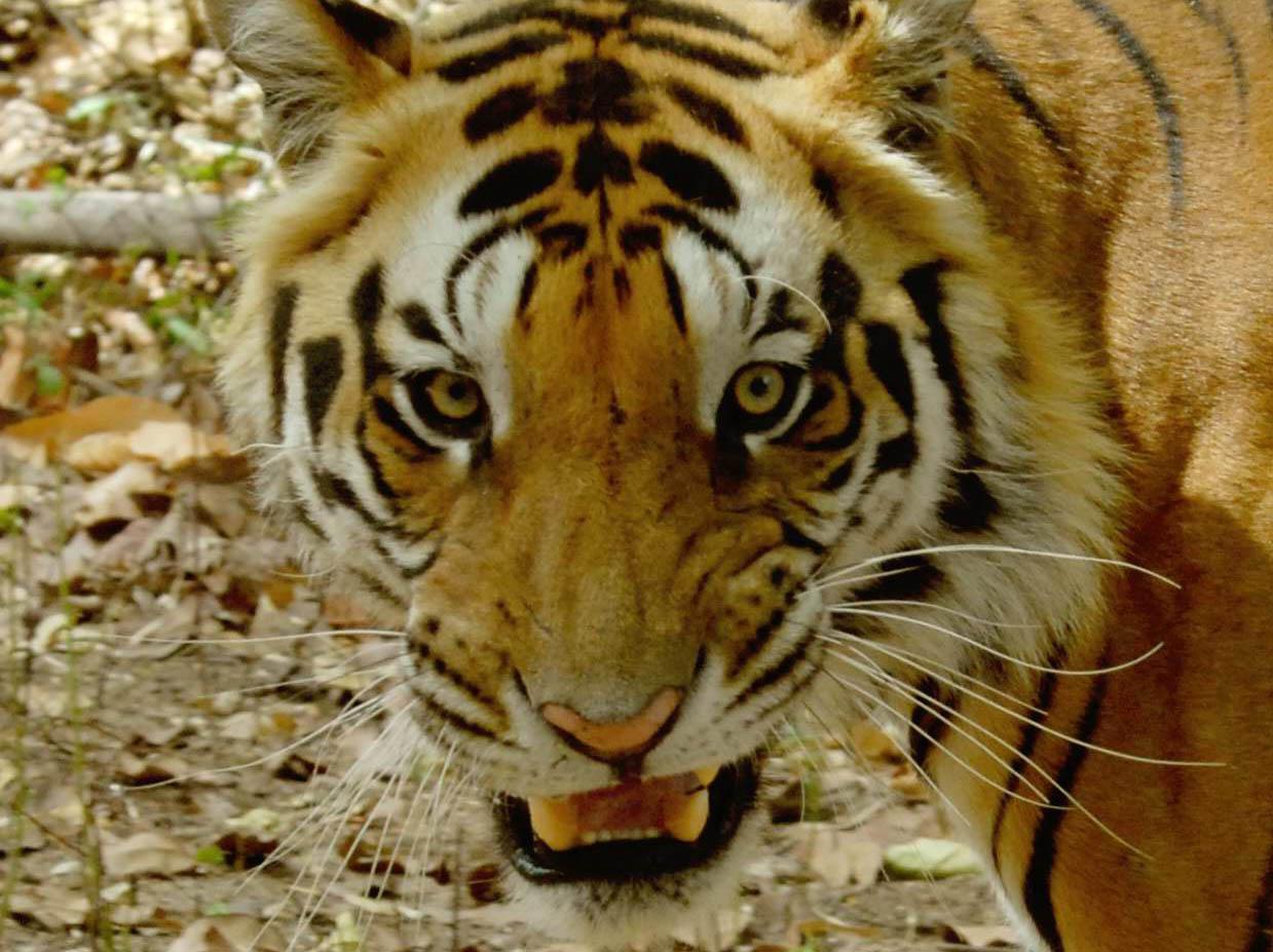 049 tiger.jpg