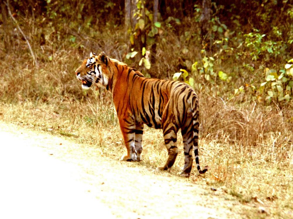 056 tiger.jpg