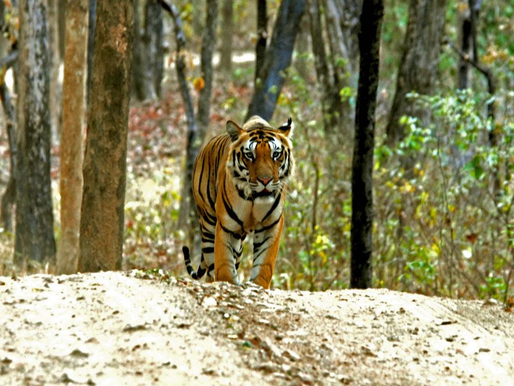 060 tiger.jpg