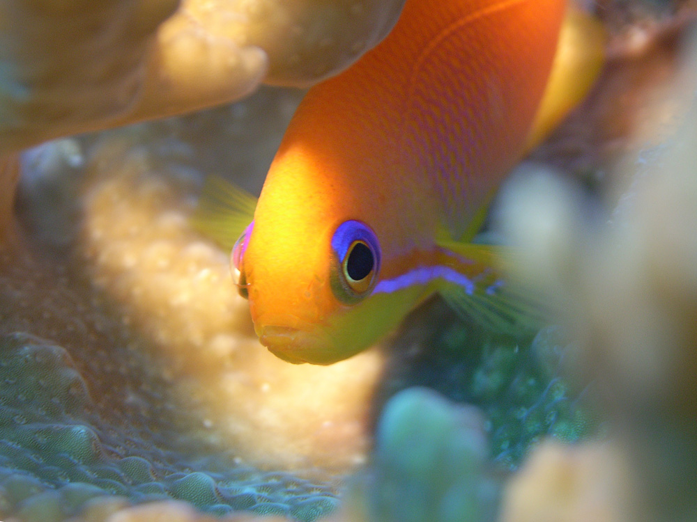 004 anthias - maldives.jpg