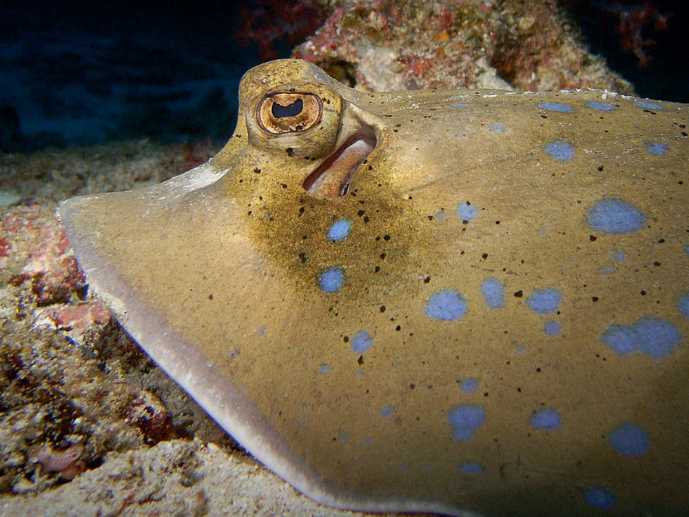 017 blue spotted sting ray - thailand.jpg