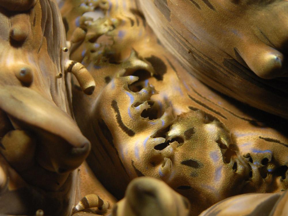 018 clam - similans, thailand.jpg