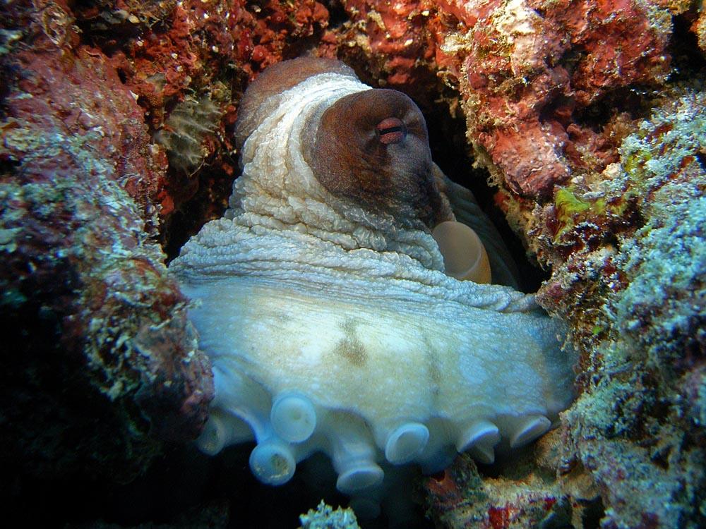 047 octopus - raja ampat, indonesia.jpg