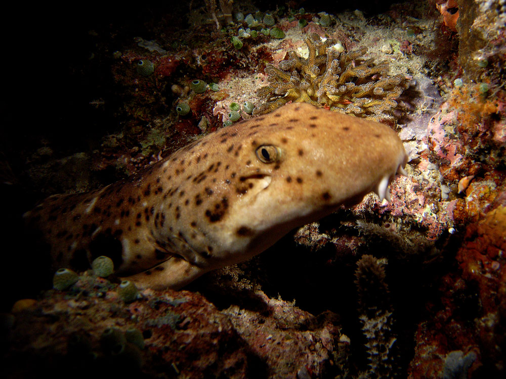 048 epaulet shark - raja ampat, indonesia.jpg