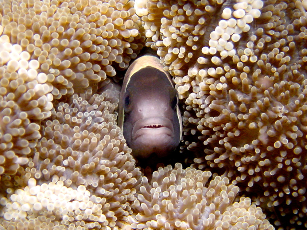 057 clownfish - alor, indonesia.jpg